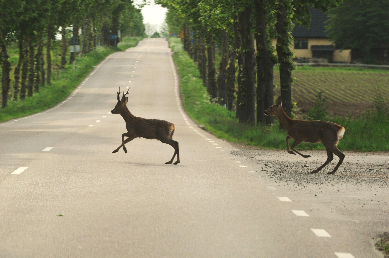 Wild im Stress Reh Rehbock Straße Wildunfall