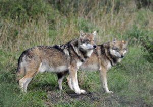 Nachsucheführer stehen in Sachsen vor einem Problem. Wölfe erschweren Nachsuchen, da sie sofort das angeschossene Wild in Besitz nehmen.