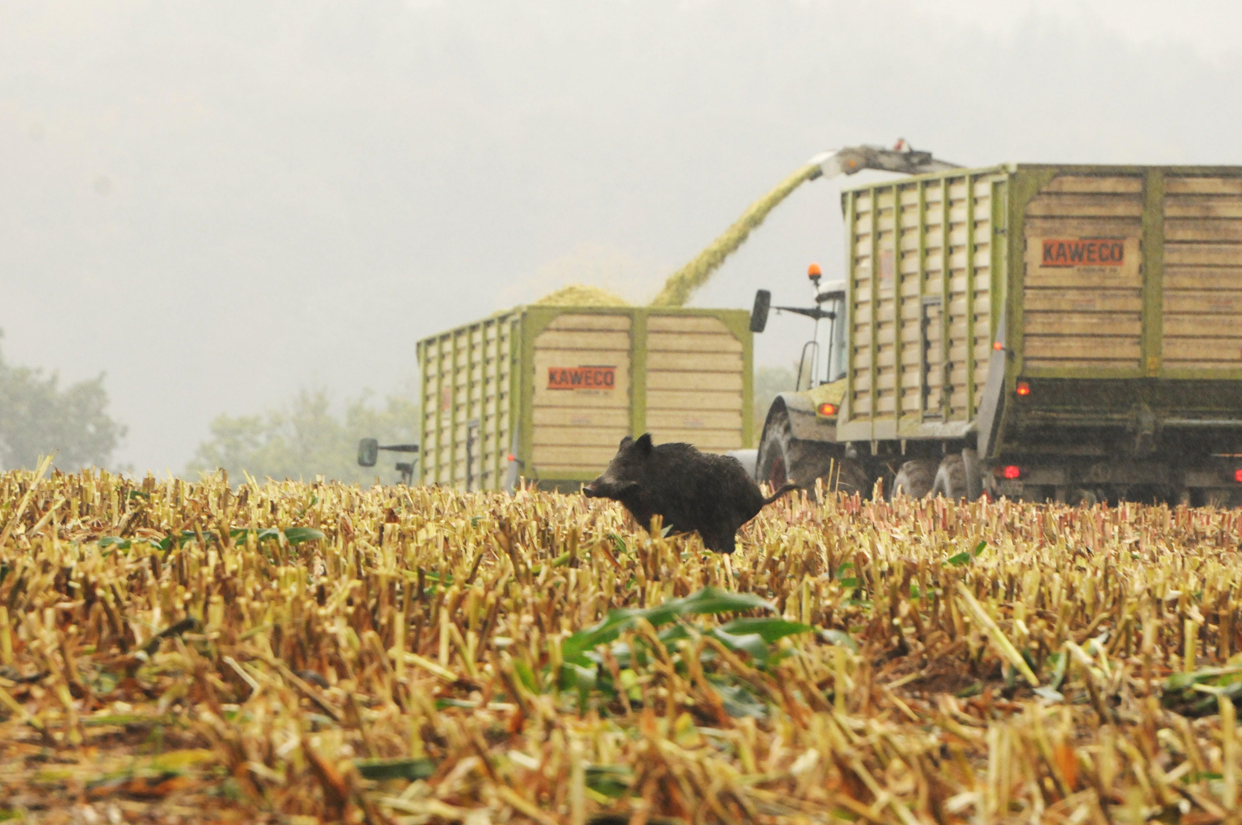 Maisjagd - Mann durch Querschläger getötet Mais Maisjagd Sauen Wildschwein Erntejagd