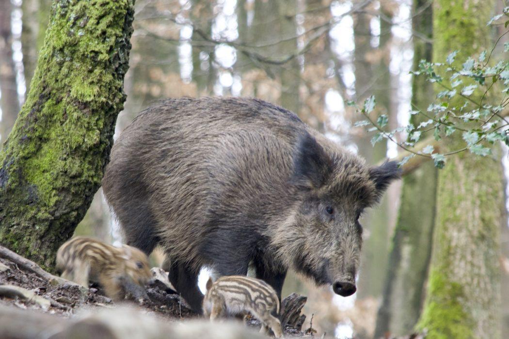 größte wildschweine der welt