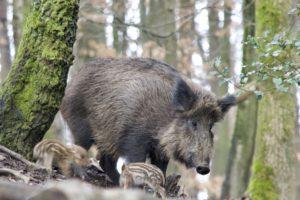 SPD, CDU und AfD haben für ein neues Jagdgesetz gestimmt. Das Gesetz enthält neue Regelungen für die ASP, Schalldämpfer, die Erntejagd und Nutria.