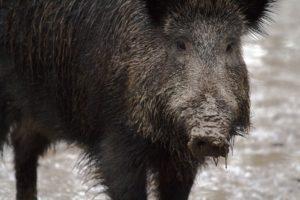 Niedersachsen führt eine Wildschweinprämie ein, um der ASP vorzubeugen. Pro Stück Fallwild und erlegten Wildschwein zahlt das Land 50 Euro.