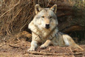 Die Umweltministerkonferenz in Bremen hat sich zum Thema Wölfe geäußert: in Zukunft sollen Problemwölfe getötet werden können.