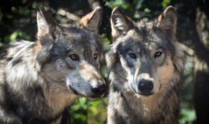 Ein Wolf reisst 34 Schafe im Landkreis Ludwigslust-Parchim trotz Schutzhunden. Zusätzlich wurden 11 weitere Schafe schwer verletzt.