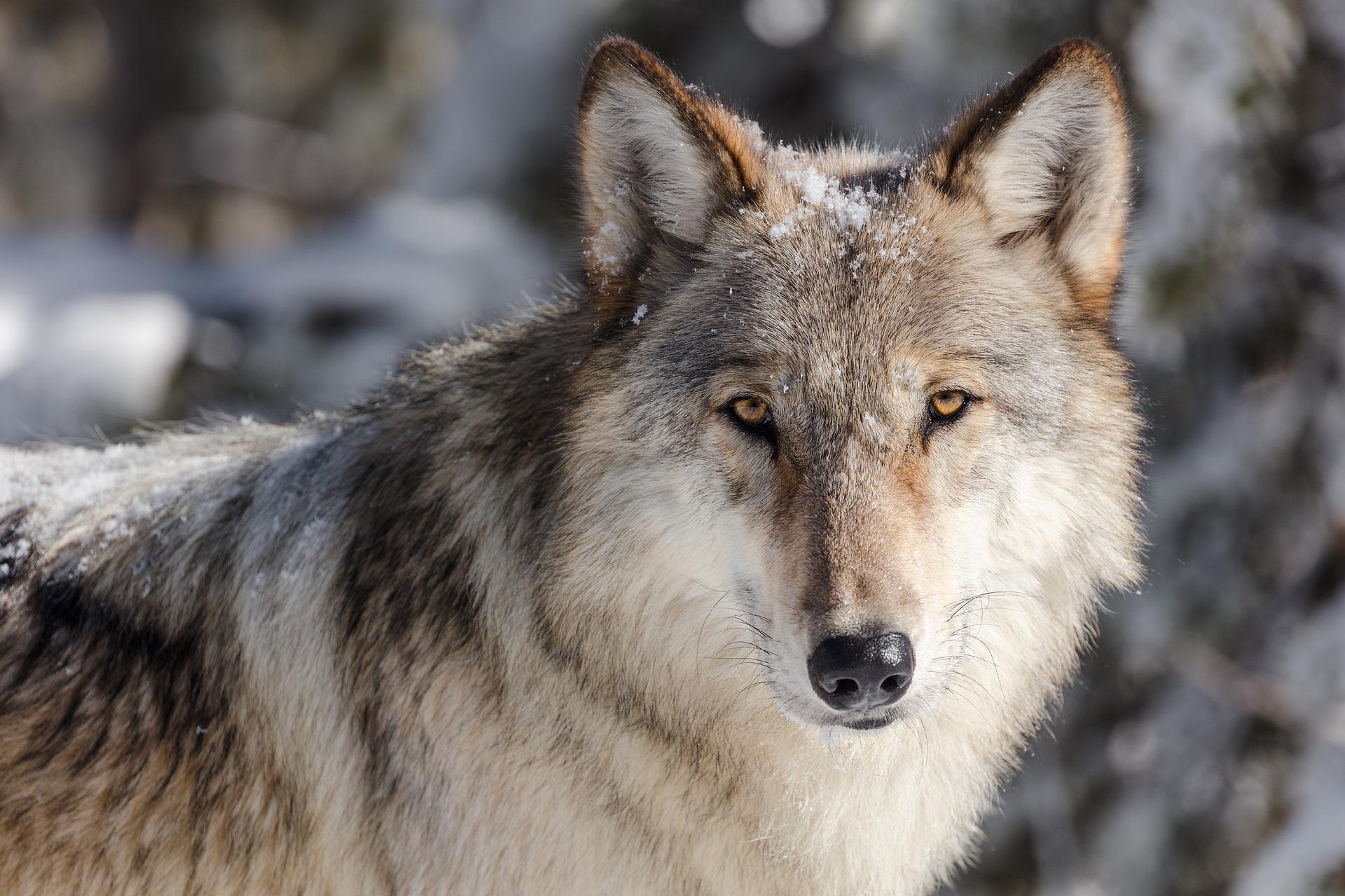 Ein Wolf im Landkreis Rotenburg ist handgreiflich geworden. Der Wolf biss einen Gemeindearbeiter in die Hand, während dieser eine Hecke bearbeitet hat.