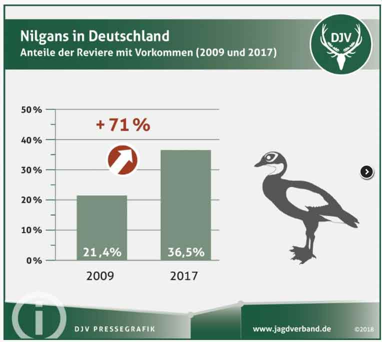 Nil - und Kanadagans sind Gänseexoten und waren bis vor einigen Jahren selten in Deutschland. Jetzt ist das Gegenteil der Fall und der DJV schlägt Alarm