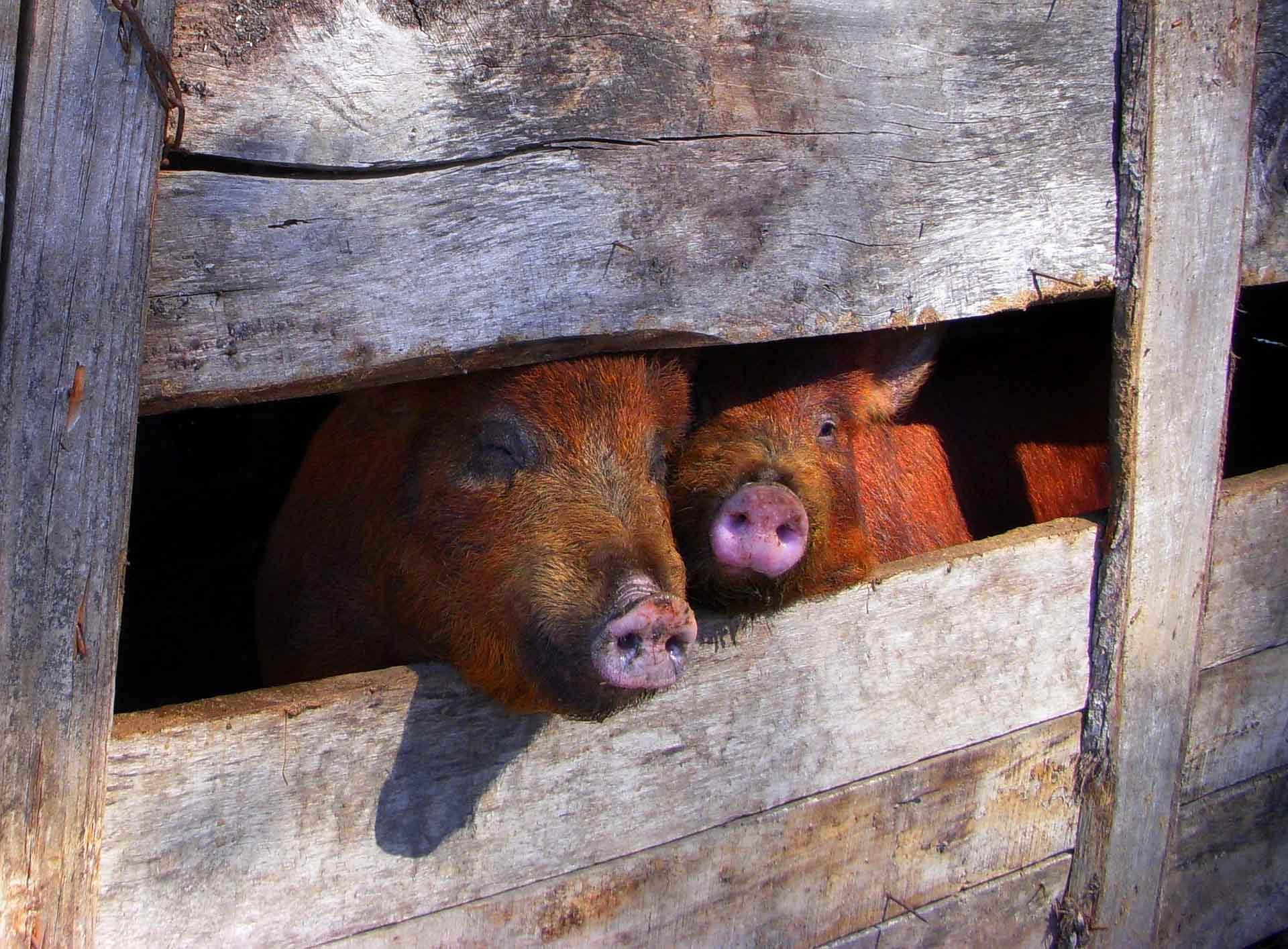 ASP international: Keine Wortkombination, die die Schweinebauern dieser Welt gerne hören.  Die ersten großen Mastbetriebe im fernen Osten sind nun betroffen.