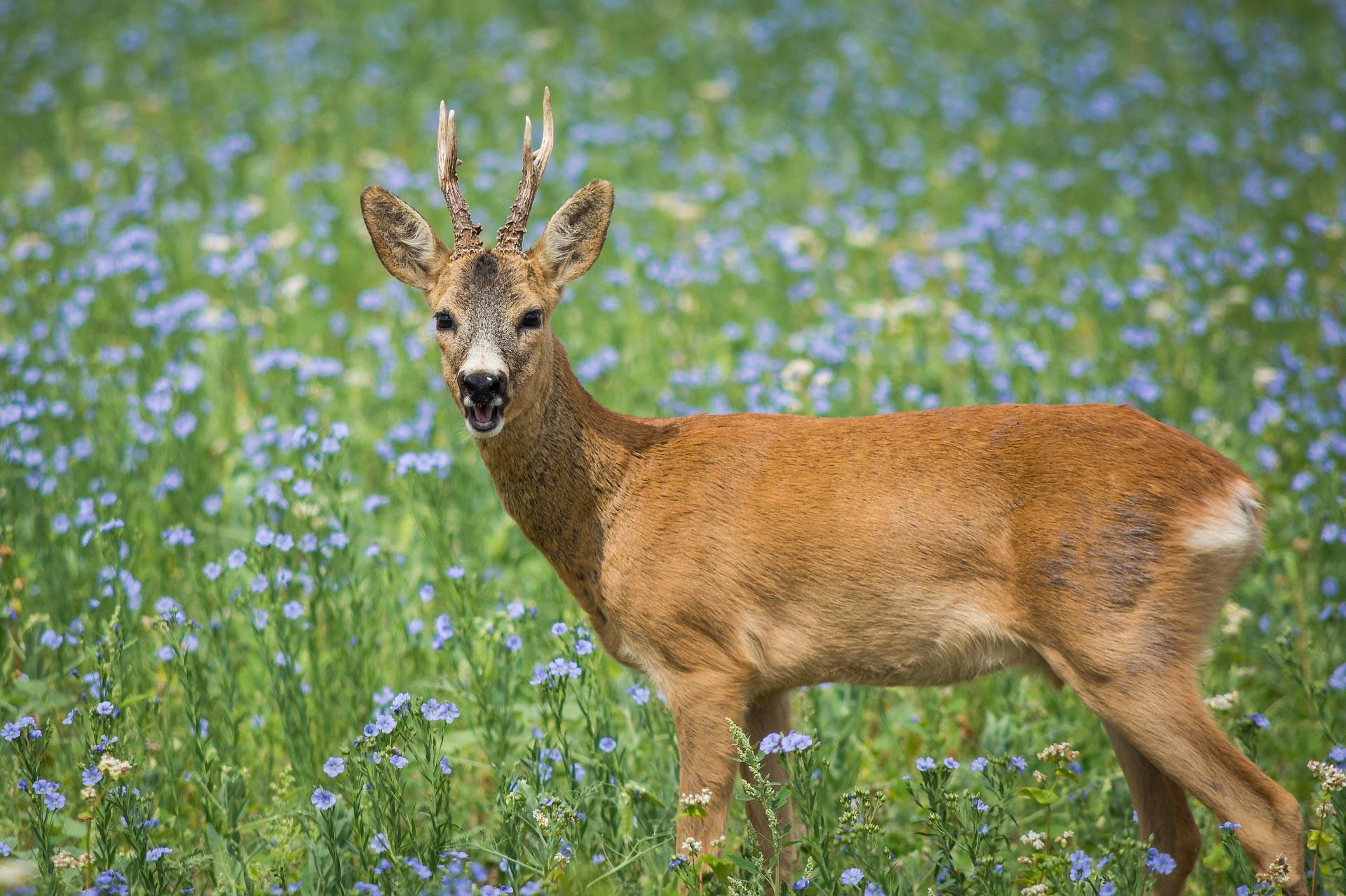 Wer den braven Bock jagen will, muss Zeit und Aufwand in die Bockhege stecken. Wir zeigen, was dem Rehwild im Frühjahr zu einem guten Start verhilft.