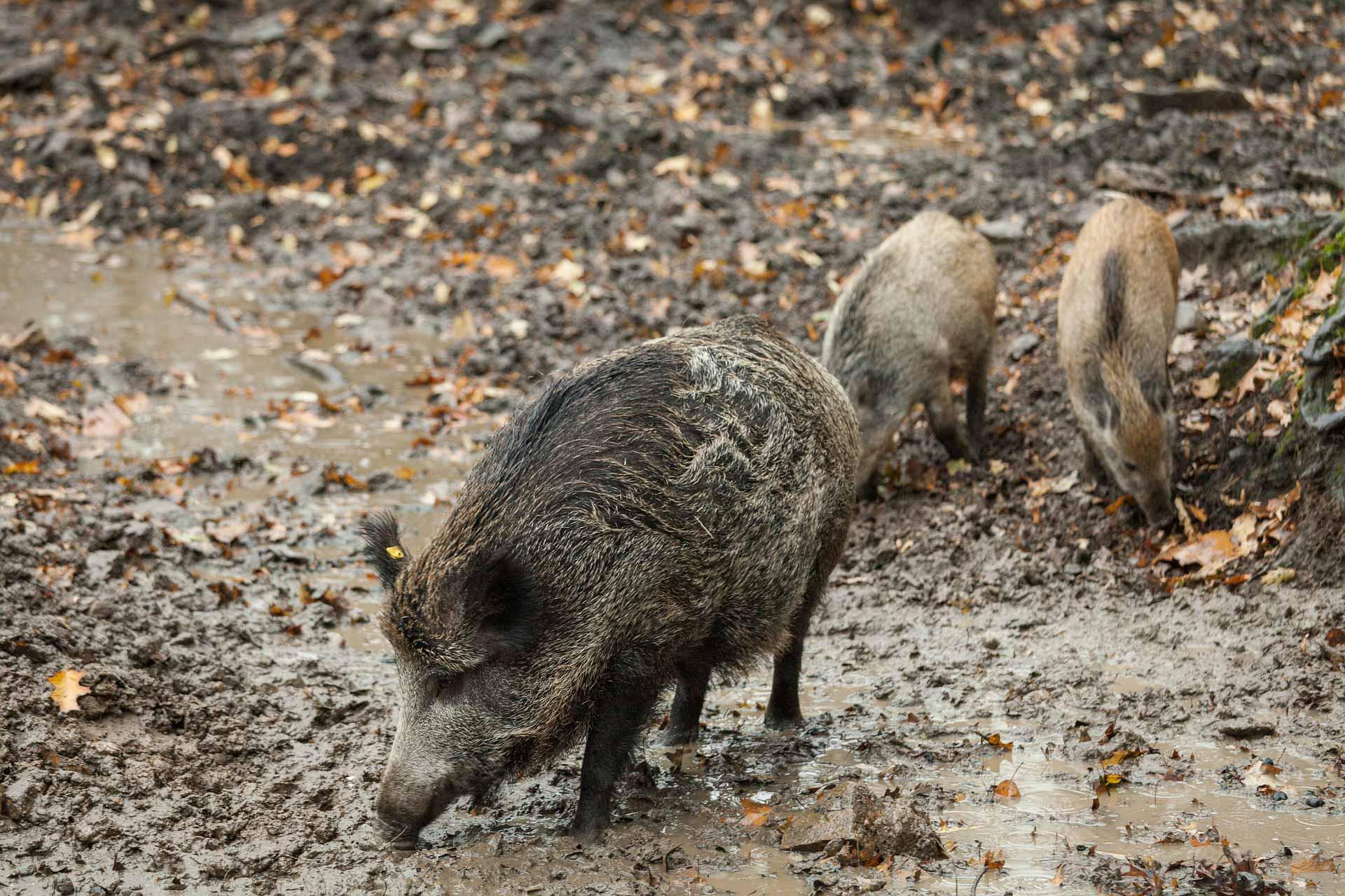 In Belgien ist es zu Festnahmen im Zusammenhang mit der ASP gekommen. Mehrere Beamte der örtlichen Forstbehörde mussten sich vor Polizei rechtfertigen.