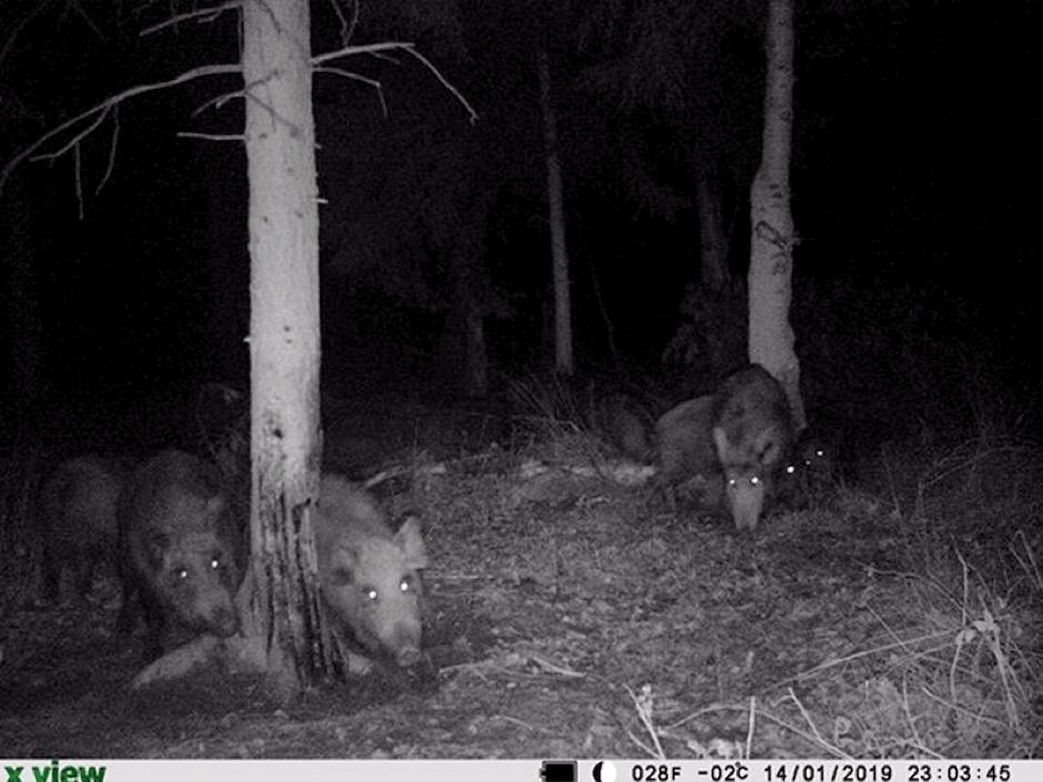 Wenn der Buchenholzteer am Ende ist - dann ist die Zeit von BLACK FIRE angebrochen. Der Wildschwein-Lockstoff lotst treffsicher kapitale Schweine in ihr Revier!