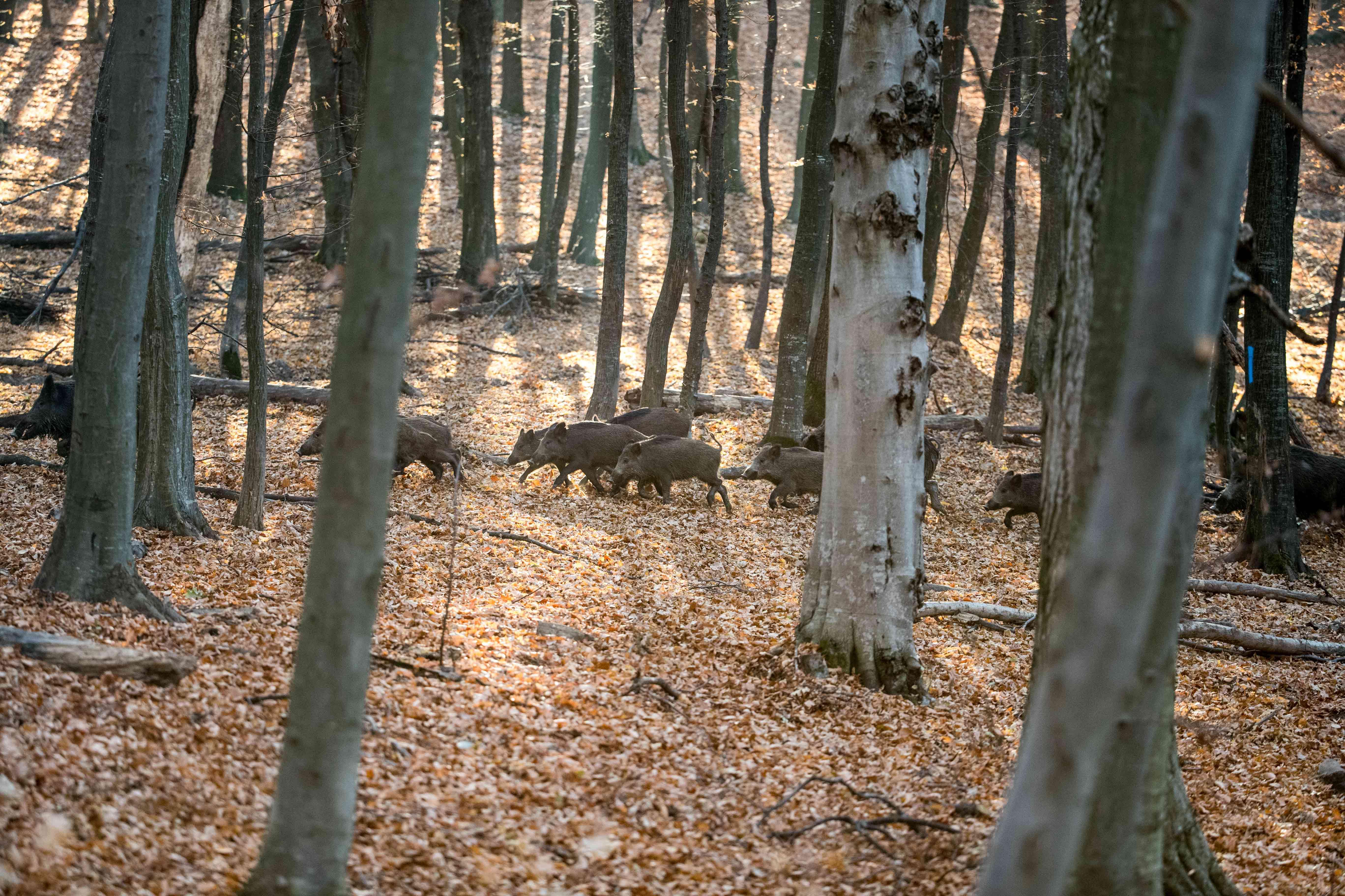 Wenn es zur Sauenbejagung kommt, gibt es viele verschiedene Ansätze und Methoden. Hubertus Meyer-Loos erläutert, wie wir Jäger Sauen hegen sollten.