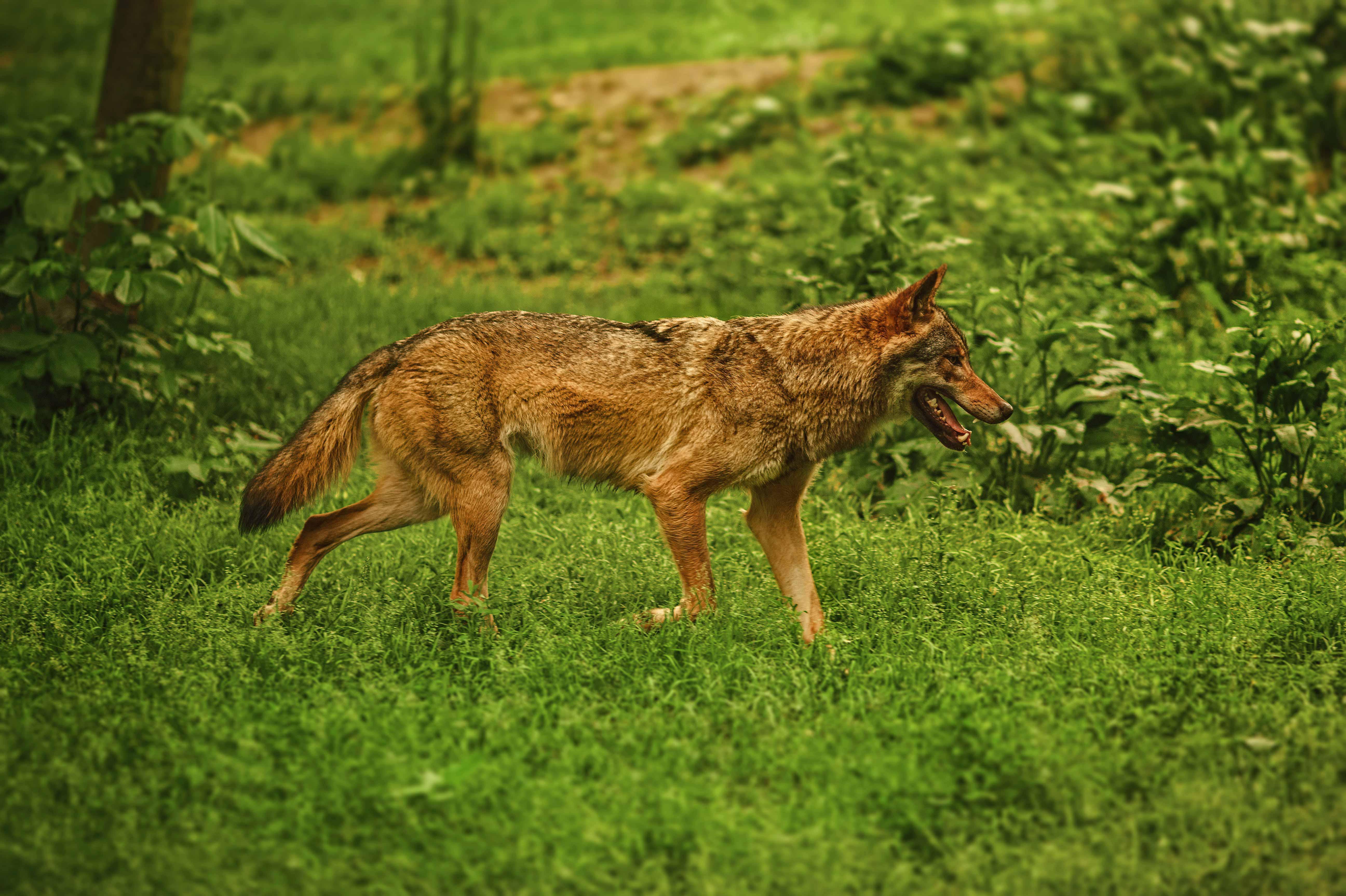Seit der Wolf wieder wandert, steigen die Wolfskosten in Deutschland rasant. Dr. Nina Krüger hat sich einmal angeschaut, was der Wolf die Länder kostet.
