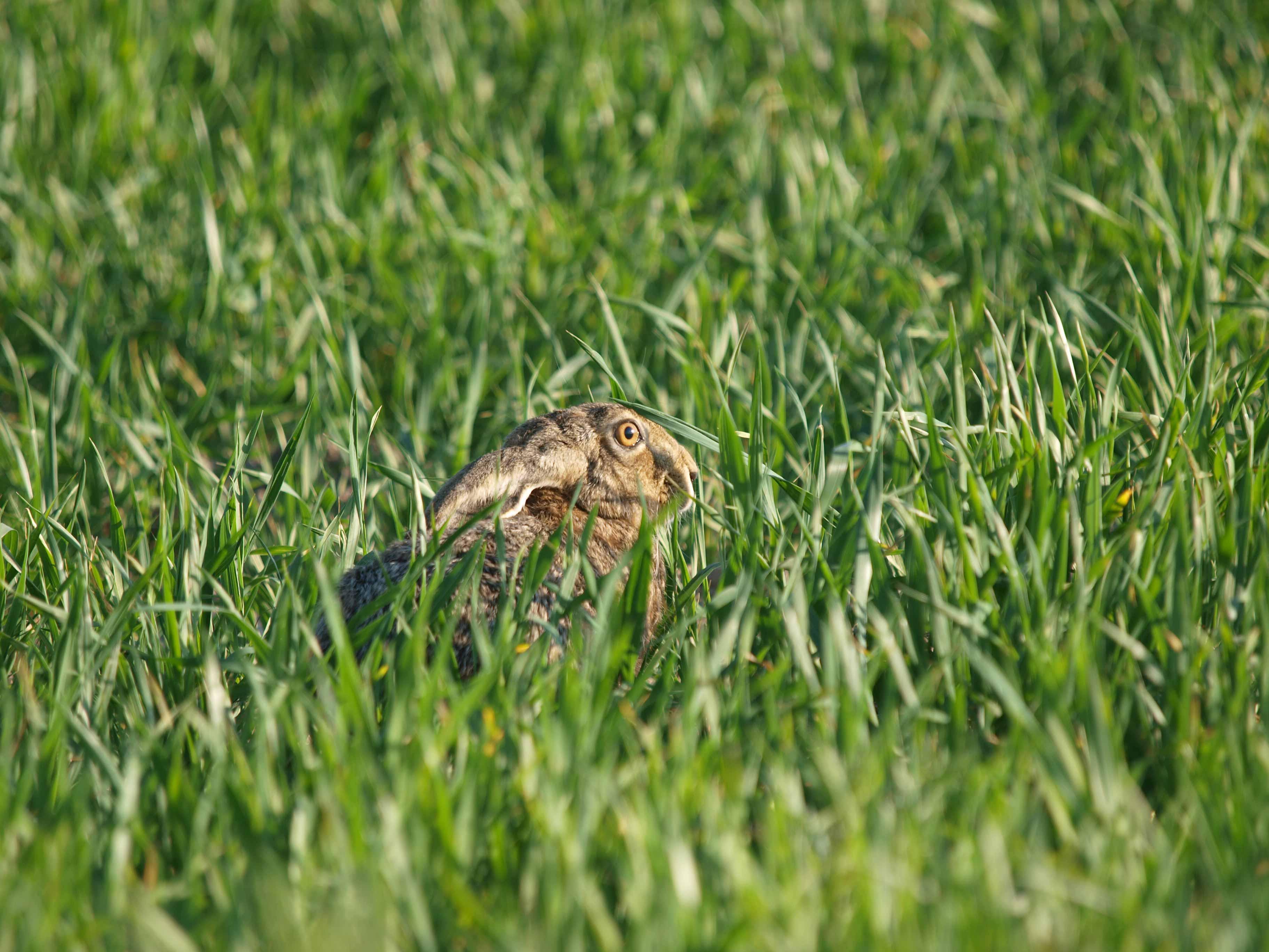 Seit Jahren rauscht das Niederwild in Richtung rote Liste. Doch die Hasen geben Hoffnung: Dieses Jahr ist der Hasenbesatz zum Vorjahr gestiegen.