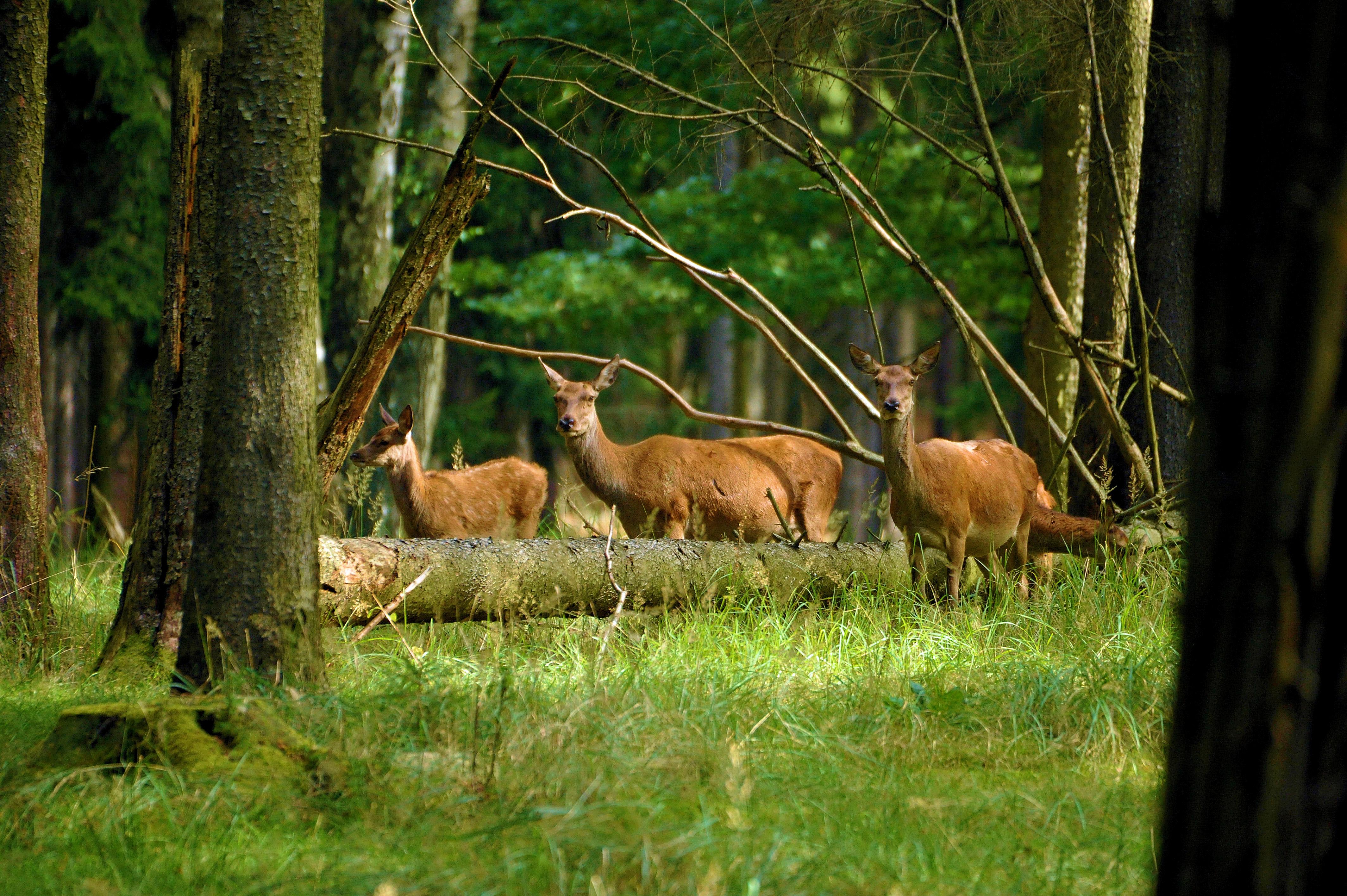Jagd auf Rotwild im Forstamt Schuenhagen - trotz Schonzeit!