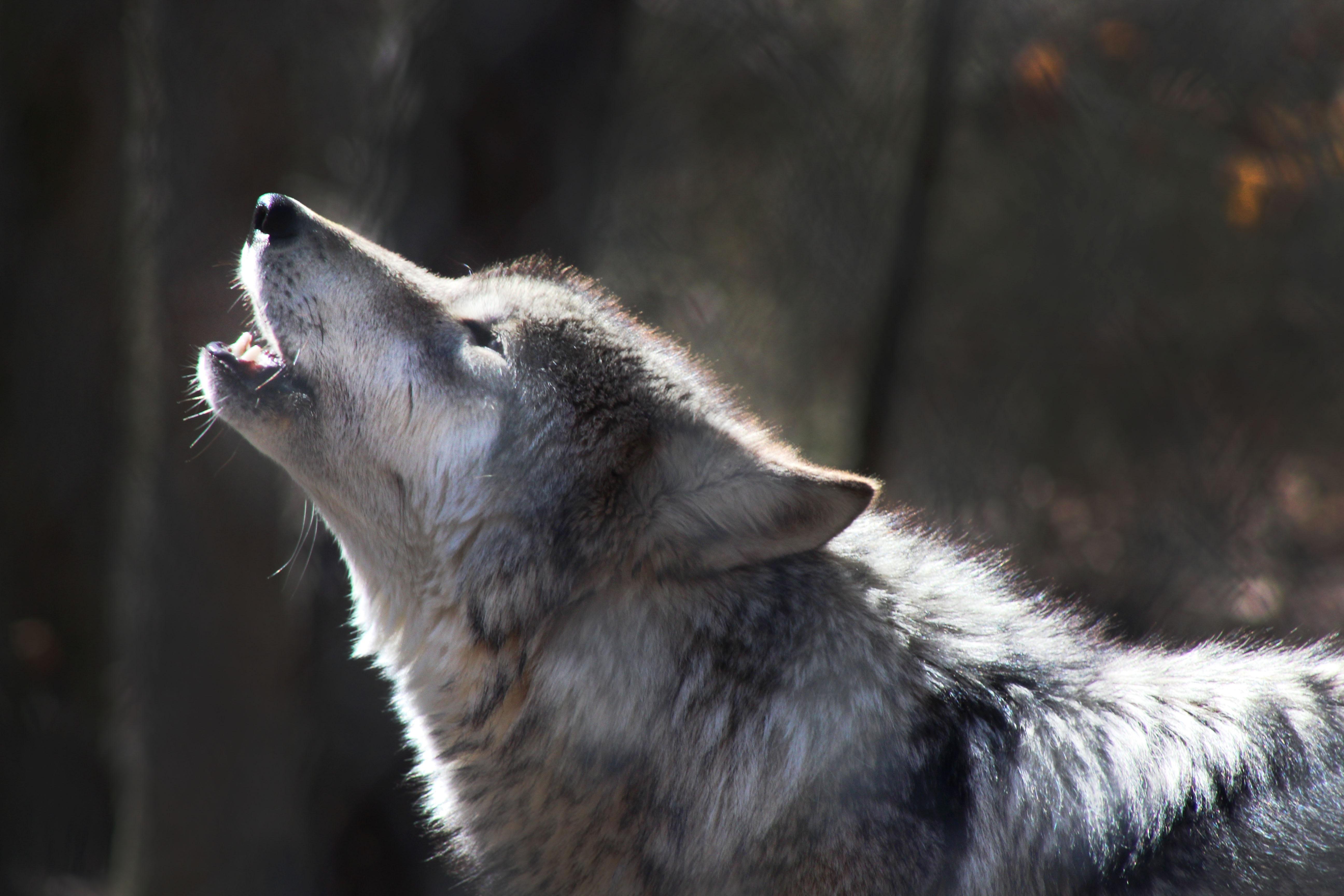 Ein weiterer Block auf dem Weg zur Wolfsjagd ist gefallen. Mit seiner Stellungnahme bestätigt der Generalanwalt ein früheres Urteil des EUGH.