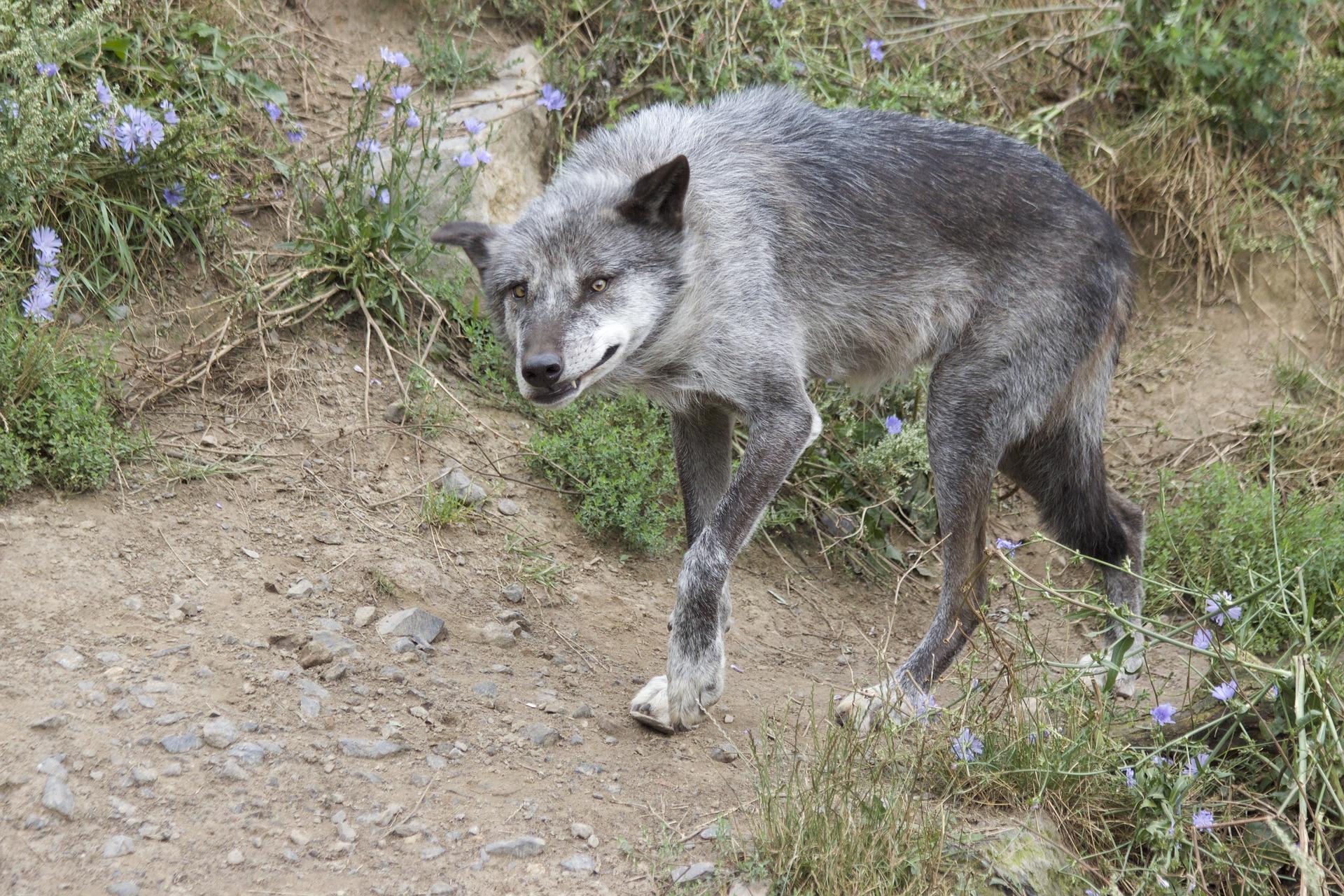 Es wurde vermutet, nun ist es bestätigt: Deutschlands teuerste Wölfin hat Nachwuchs. Die Ohrdrufer Wölfin hatte zuletzt sechs Hybriden gewölft.