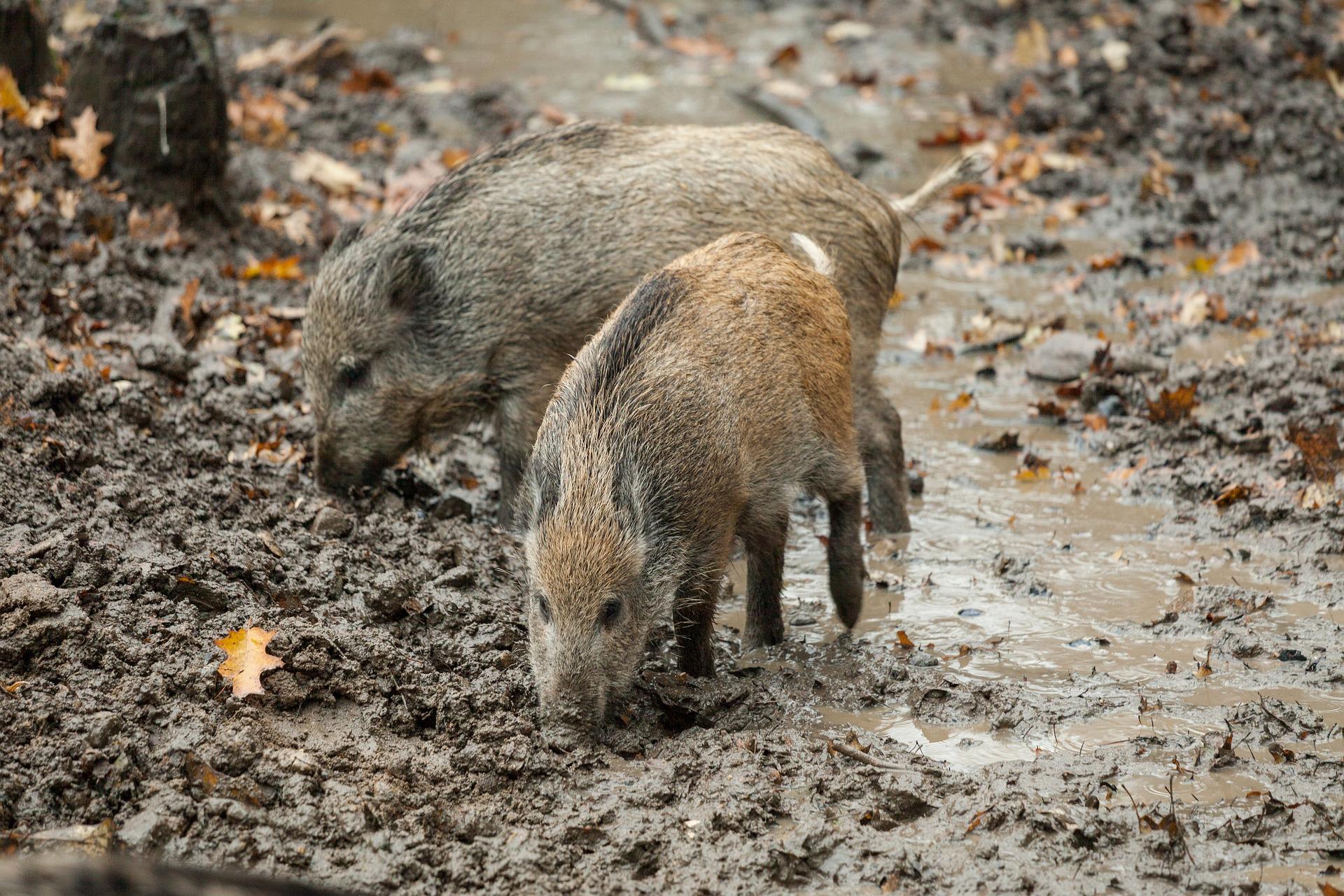 Im September junges Schalenwild schießen? Viele Jäger verschieben das auf den Winter. Warum das nicht sinnvoll ist, erläutert Professor Dr. Stubbe.