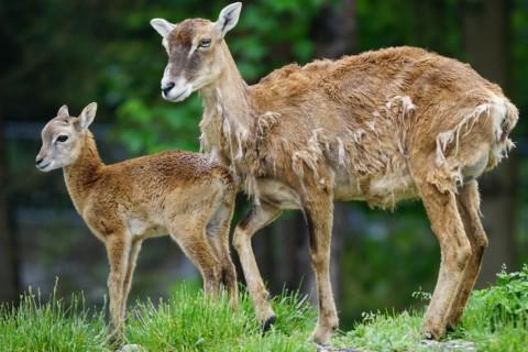 Mufflons sollen ausgerottet werden - Mufflon Jagd Wolf Naturschutz